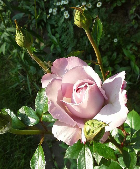 Poster Von den Rosen komm´ ich
